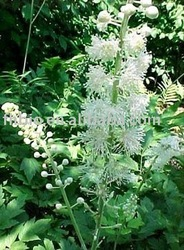 Black Cohosh Plant Extract with Triterpenoid Saponins 2.5%