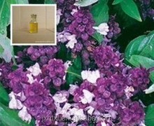 Plant extract oil basil oil is a volatile oil extracted from herb of basil tree by steam distillation