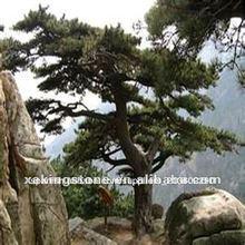 100% natural de corteza de pino extractos de plantas