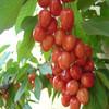 2014 Natural brazilian cherry parquet natural fruit juice brands
