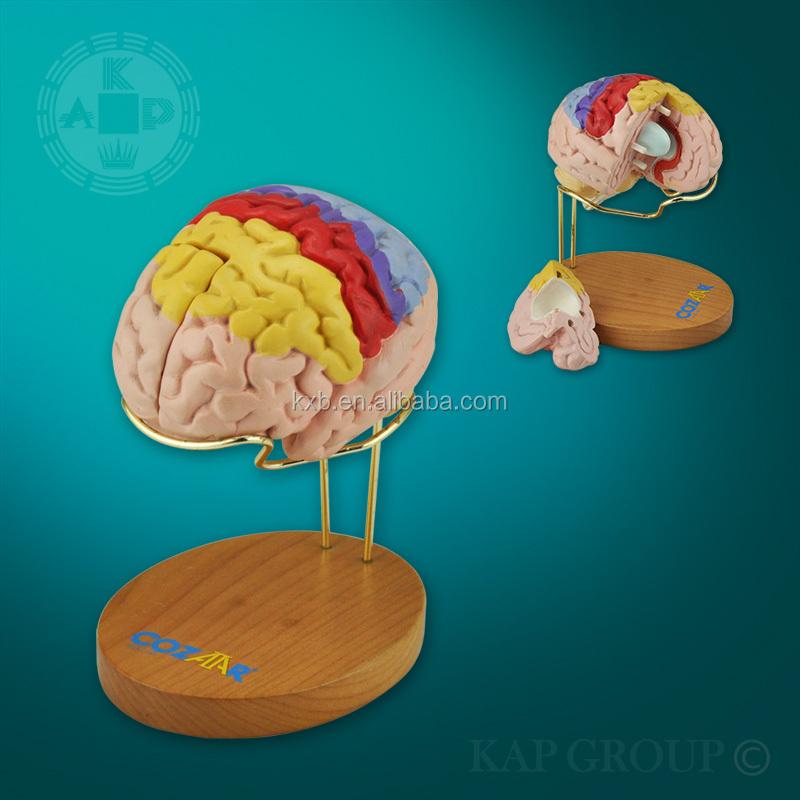 Human Brain Model,Brain Model 3d,Anatomical Brain Model - Buy Human ...