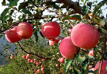 Food supplement apple extract