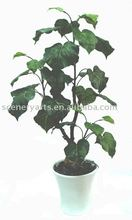 "24"" oficina planta de cal bonsai x 31 lvs hojas de color verde"