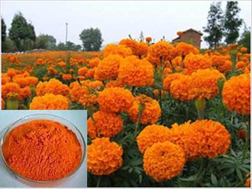 Marigold Extract, Marigold oleoresin, Lutein