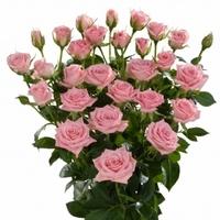 Pink Spray Rose Nathalie