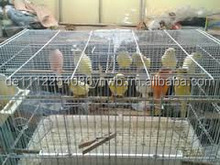 Live Yorkshire Canary birds for sale