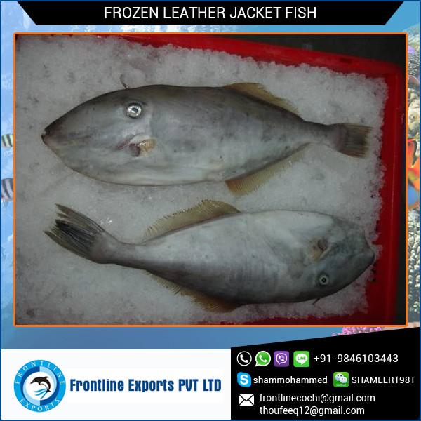 Frozen Leather Jacket Fish.jpg