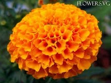 Zeaxanthene and Lutein Ester from Marigold 5%10% 20% 30% 40%