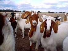 ALive Boer Goats and Cattle
