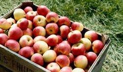 FRESH SOUTH AFRICAN APPLES FOR SALE