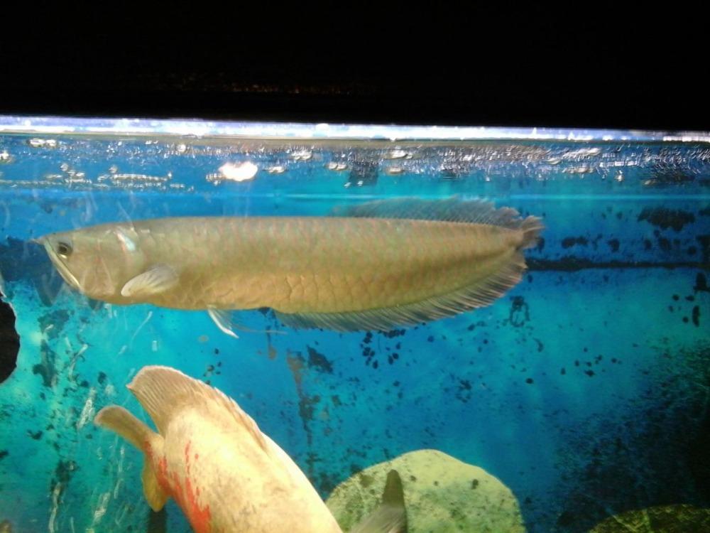 Platinum gold arowana fish for sale top supplier for Arowana fish for sale online