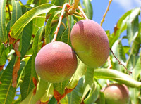 Magic Gro Plus Helps to increase the yield of Mangoes