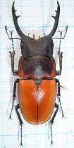 Prosopocoilus tragulus assimilis 51 MM