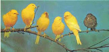 Yorkshire Canary Birds for sale