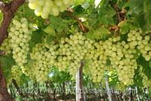 Fresh Grapes Seedless Fresh Grapes Seedless Grapes class 1 VERY HIGH GRADE Hot Sales