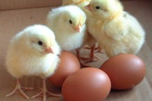 Broiler Hatching eggs (Cobb500 and Ross 308)