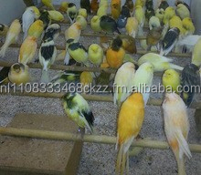 All Live Canary Birds; Finches, Yorkshire, Lancashire, Love Birds For Sale