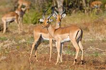 Live Deers alive Imbala Deers