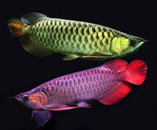 Green Asian Arowana fish for sale