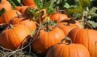 YELLOW/RED FRESH PUMPKIN High quality Fresh Pumpkin