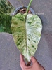 """PHILODENDRON VARIEGATED """"ELEPHANT EAR"""""""