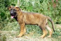 East German Shepherd Pups