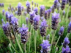 Natural Lavender Essential Oil - Perfume, Soap, Aromatherapy, Cosmetics Uses