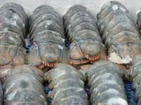 13/15 size frozen lobster tails