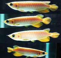 BABY ASIAN RED, GOLDEN ,RTG AND SUPER RED AROWANA FOR SALE