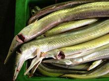 Yellow Conger Eel