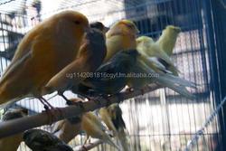 Yorkshire Canary Birds, live canary birds , Lancashire Canary Birds