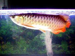 We Supply Live Arowana Fish of All Kinds And Accessories