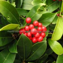 100% Natural Wintergreen Oil