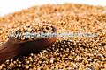 calidad de las exportaciones de semillas de cilantro