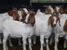 Boer Goats, Holstein heifers, Cows, Camels, Sheeps, Horse,Boer Goats for Sale