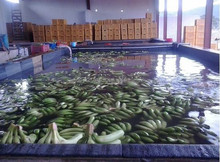 Farm fresh Cavendish banana for sale