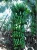 Fresh Cavendish banana cheap price premium quality