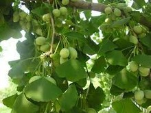 Natural Ginkgo Biloba Extract Up to 24% HPLC