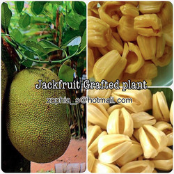 1 Jackfruit Plants - Fruit Plant+Photo Certificate NOT SHIP TO EUROPE