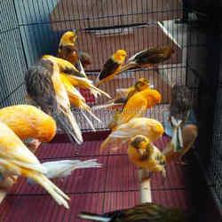 Live Playful Yorkshire Canary Birds, Lancashire Canary Birds