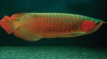 Green Base Super Red Arowana Fish Available on sale