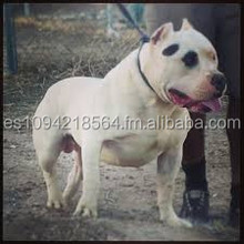 American Pit bull Dogswith free delivery