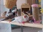 live birds,finches,lovebirds, live canary birds