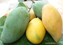 Premium Mango Fruits