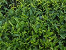 Organic Molasses Fertilizer with nitrogen