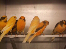 Yellow Canary Birds, White canary birds for sale