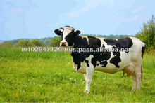 Animal feed probiotics for dairy cows and buffaloes