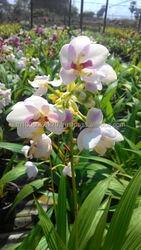 Ground orchid Thailand