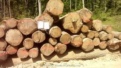 Oak logs A/B grade European