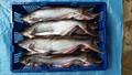 Congelados pangasius( del gato de pescado eviscerado)